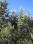 Olive 151104 1.JPG